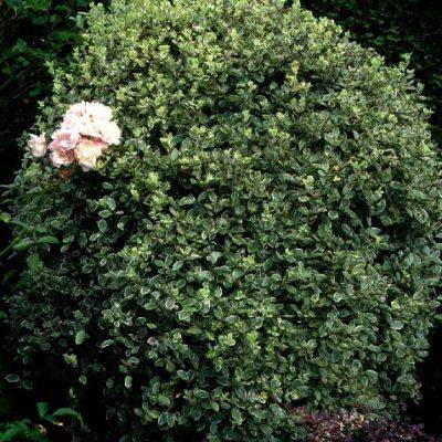 Pittosporum tenuifolium 'Ganetii'