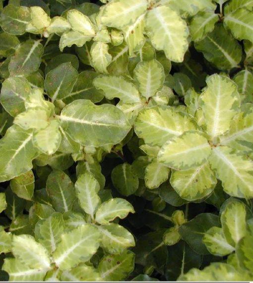 Pittosporum tenuifolium 'Gold Star'