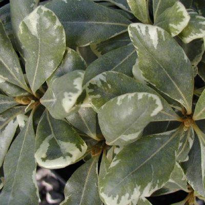 Pittosporum tenuifolium 'Vaiegatum'