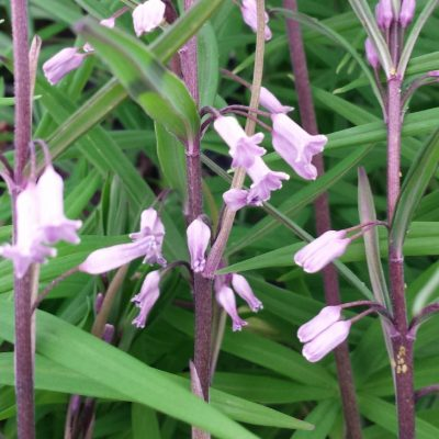 Polygonatum curvistylum