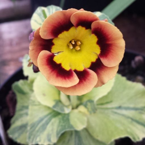 Primula auricula 'Beeches Variegated'