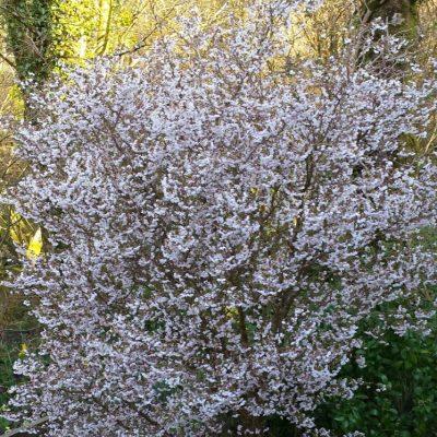Prunus incisa Kojo-No-Mai' 1/2 Standard