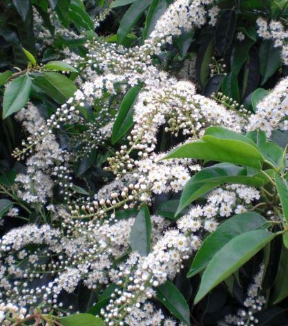 Prunus lusitanica (Portugese Laurel)