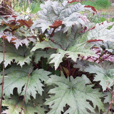 Rheum palmatum 'Rubrum'