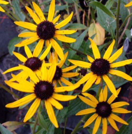 Rudeckia x Echinacea 'Summerina'