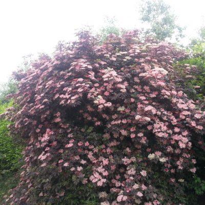 Sambucus nigra 'Black Beauty'