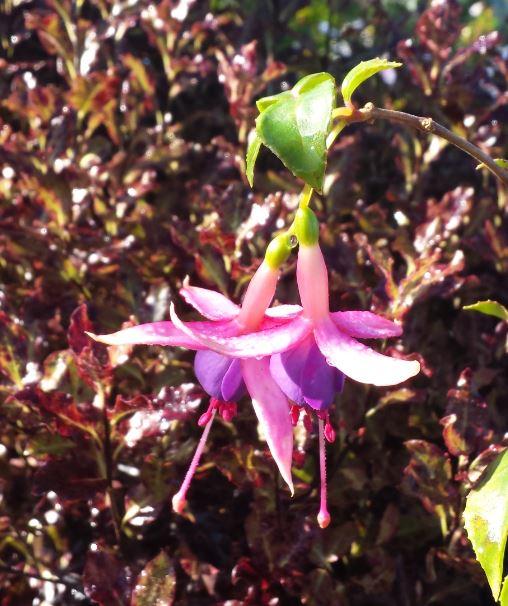Fuchsia (Hardy) 'Chillerton Beauty'
