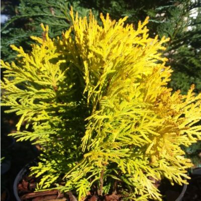 Thuja occidentalis 'Amber Glow'