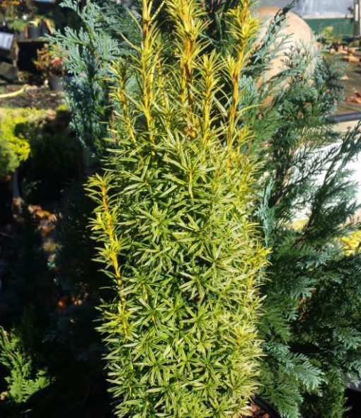 Taxus baccata 'Germer's Gold'