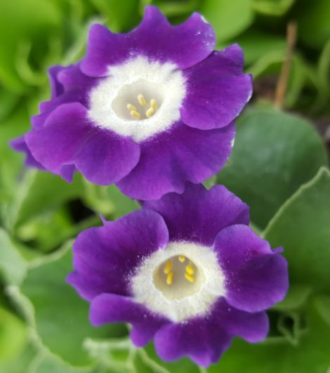 Primula auricula 'Old Cottage Blue'