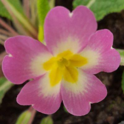 Primula vulgaris pink form