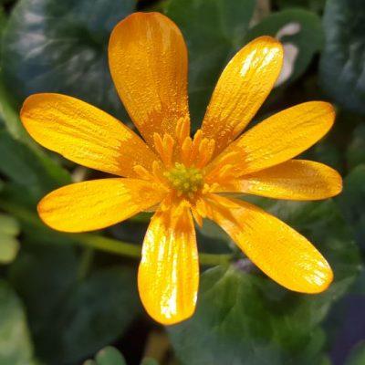 Ranunculus ficaria 'Orange Sorbet'