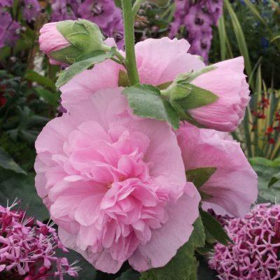 Alcea rosea Doulbe Mixed