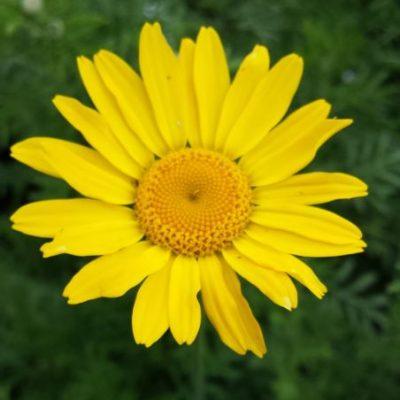 Anthemis tinctoria 'Kelways Gold'
