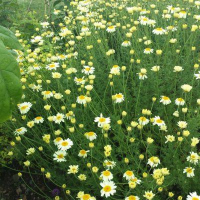 Anthemis tinctoria 'Wargraves Variety'