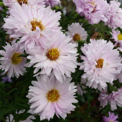 Aster novi-belgii 'Apple Blossom'
