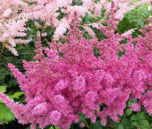 Astilbe chinensis 'Visions in Pink'