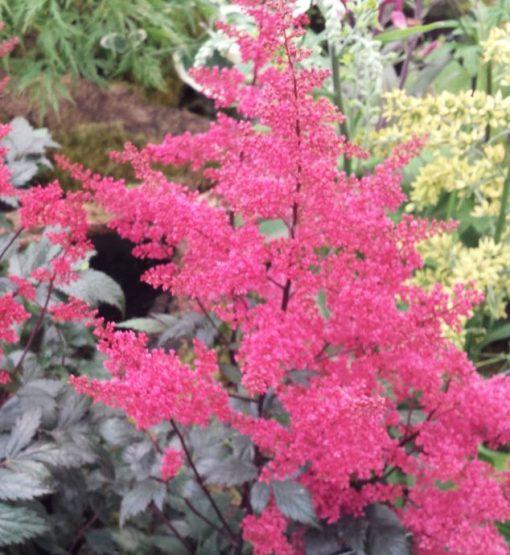 Astilbe japonica 'Red Sentinal'