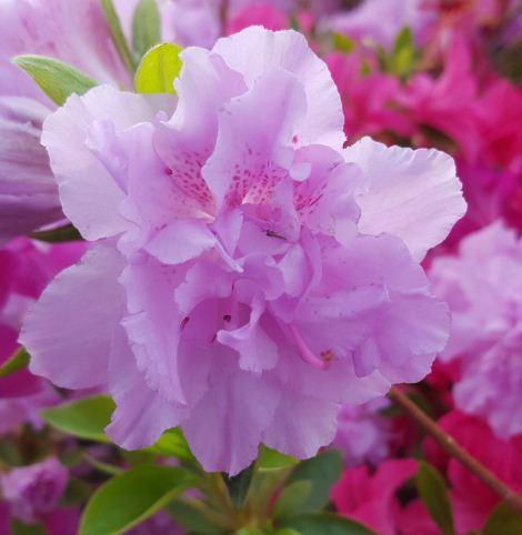Azalea japonica 39 elsie lee 39 farmyard nurseries for Azalea japonica