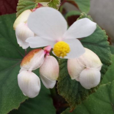 Begonia grandis spp. evansiana 'Simsii'