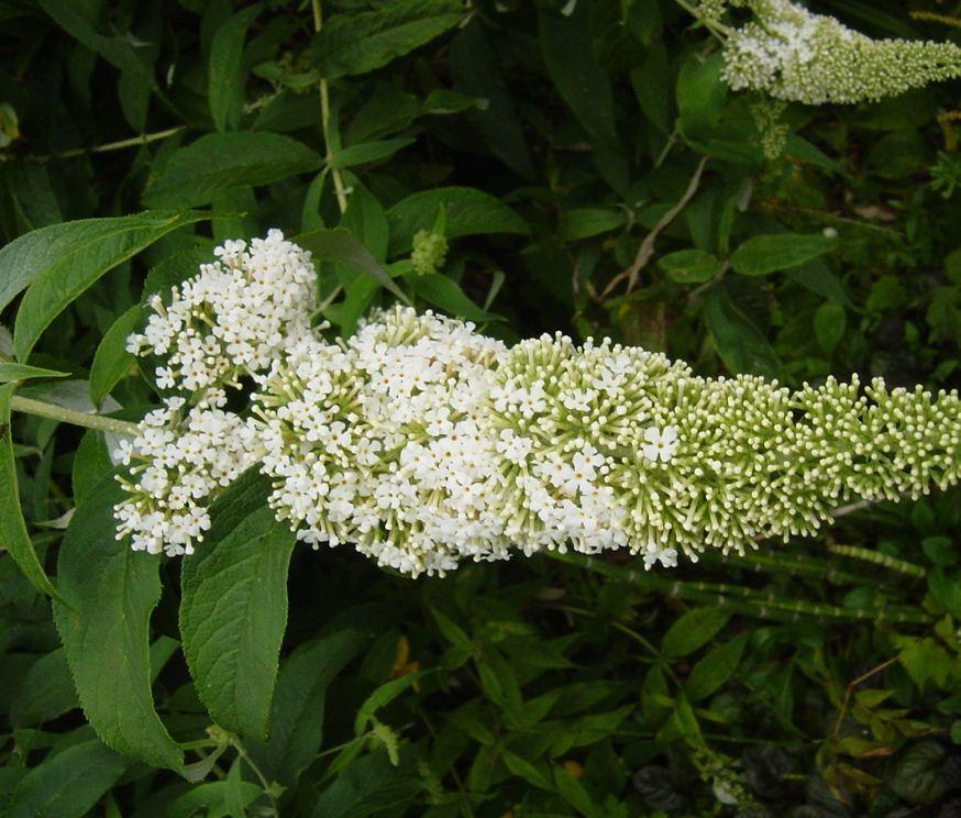 buddleia davidii 39 white profusion 39 farmyard nurseries. Black Bedroom Furniture Sets. Home Design Ideas