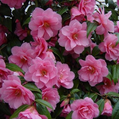 Camellia williamsii 'Donation'