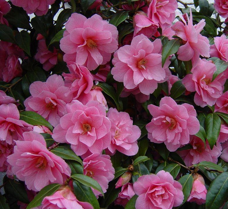 Camellia Williamsii Donation Farmyard Nurseries