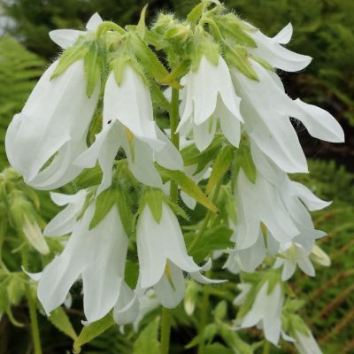 Campanula trachelium 'Alba'