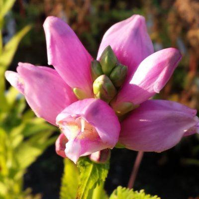 Chelone obliqua 'Pink Sensation'