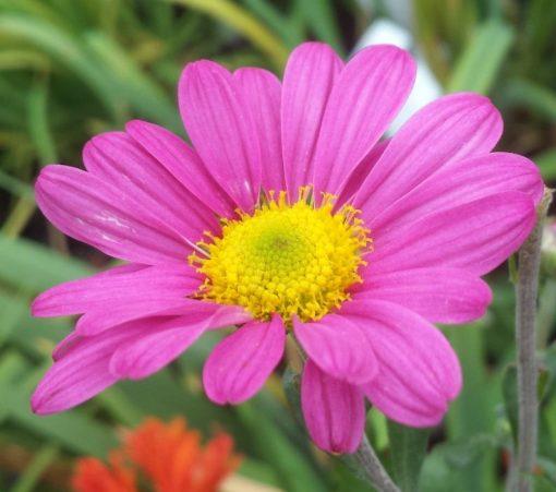 Chrysanthemum 'Daniel Cooper'