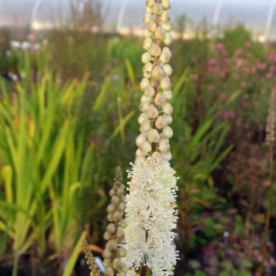Cimicifuga (Actaea) racemosa var. cordifolia