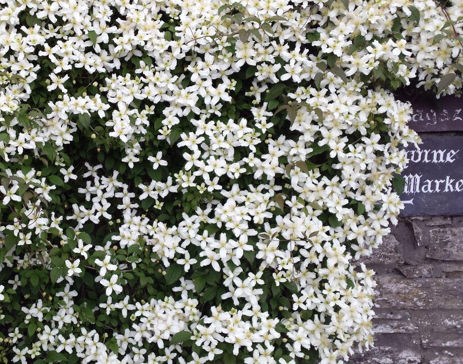 clematis montana wilsonii farmyard nurseries. Black Bedroom Furniture Sets. Home Design Ideas