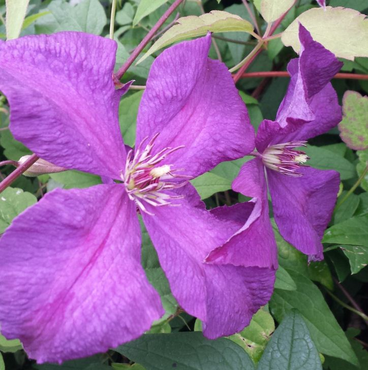clematis viticella 39 etoile violette 39 farmyard nurseries. Black Bedroom Furniture Sets. Home Design Ideas