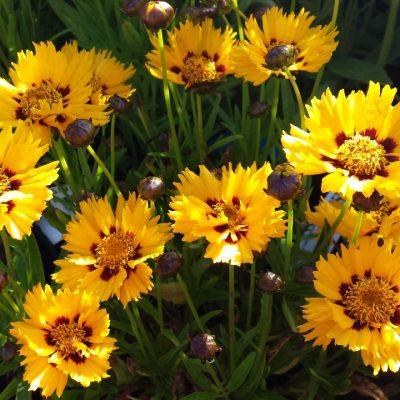 Coreopsis grandiflora 'Sunfire'