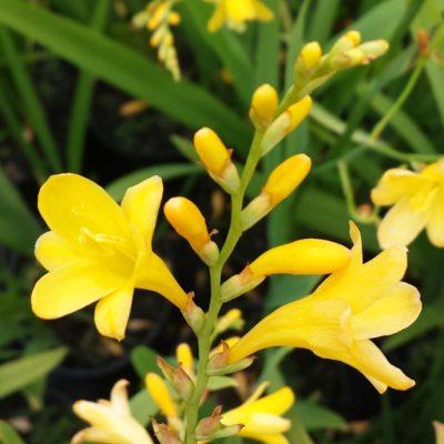 Crocosmia crocosmiiflora 'Citronella'