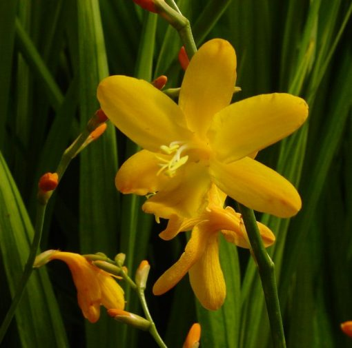 Crocosmia crocosmiiflora 'George Davidson'