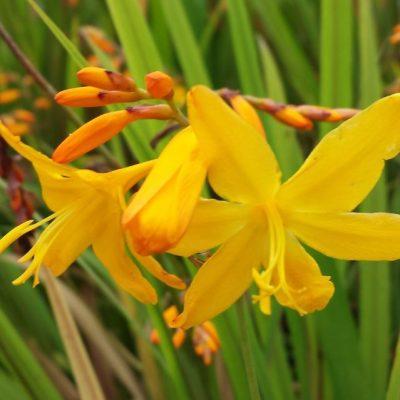 Crocosmia 'Golden Dew'