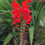 Crocosmia 'Lucifer' with its red flowers and strap-like leaves