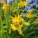 Beautiful yellow Crocosmia with several sprays of flowers