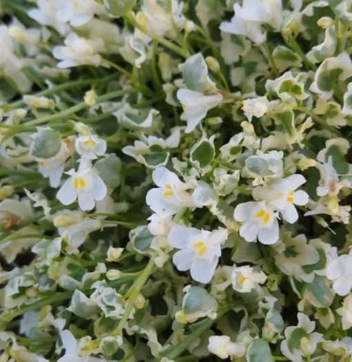 Cymbalaria 'Snow wave'