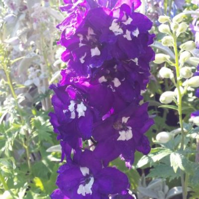 Delphinium 'Magic Fountains Dark Blue with a White Eye'