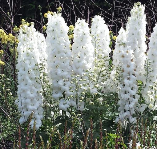 Delphinium 'Magic Fountains White'