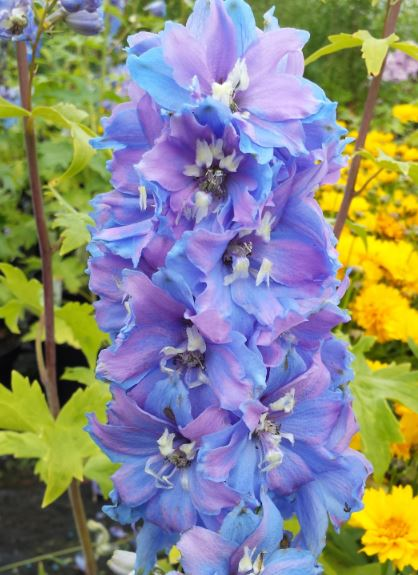 Delphinium 'Magic Fountains Sky Blue with a White Eye'