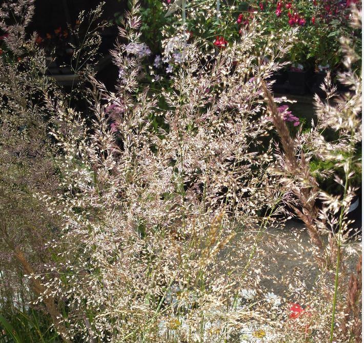 Deschampsia cespitosa 'Morning Dew'