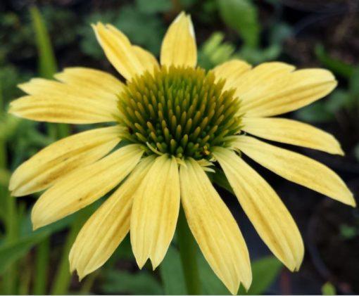 Echinacea 'Sandy Yellow'
