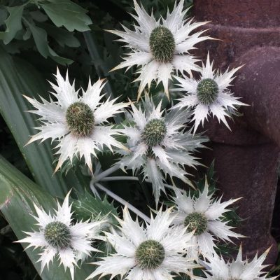 Eryngium giganteum 'Miss Wilmotts Ghost'