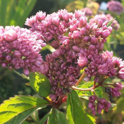 Eupatorium cannabinum 'Flore Pleno'