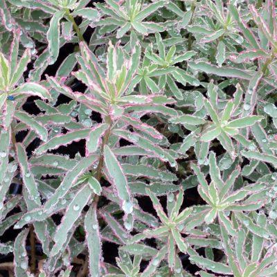 Euphorbia polychroma 'First Blush'