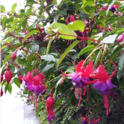 Fuchsia 'Dollar Princess'
