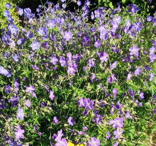 Geranium pratense mixed colours